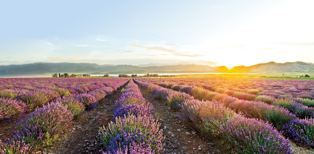 farms-lavender